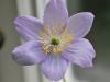 anemone-robinsoniana